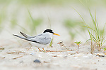 Least Tern (Sterna antillarum) adult with two chicks at nest, Nickerson Beach, Long Island, New York, USA