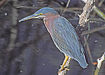 """""""Green-backed Heron"""";  watching for prey. Stalks along wooded creeks, ponds, marshes. Actually a member of the Rail Bird family (Rallidae)."""