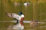 Northern Shovelers (Anas clypeata), pair in breeding plumage on water, male flapping wings, Henderson, Nevada.