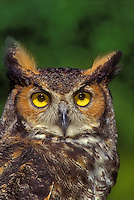 Great Horned Owl. (Bubo virginianus).  North America.