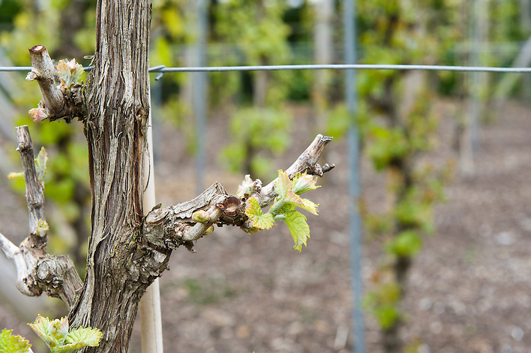 Grape vines trained using the singe cordon or rod-and-spur system comprise a single upright stem (the cordon) from which horizontal, fruit-bearing laterals shoot out left and right, like arms. In spring, remove all except two shoots from the spurs on the cordon. Once you can tell which is the sronger, start training it horizontally, then remove the weaker one, along with any other new growth.