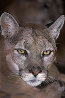 656329003 portrait of a wildlife rescue mountain lion felis concolor species is native to the new world and is widespread