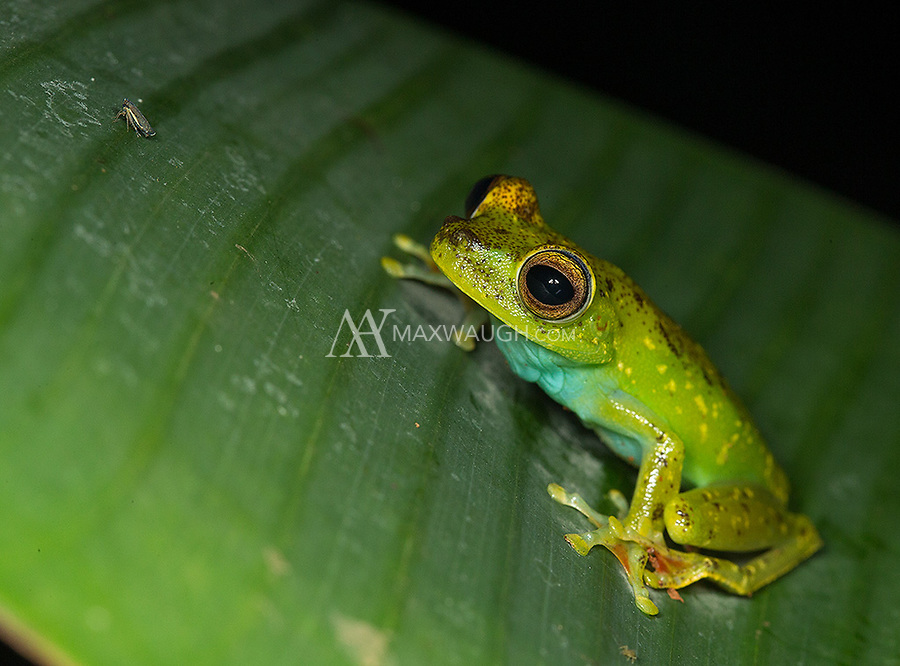 My guide was very excited to find this scarlet-webbed tree frog during our night walk.