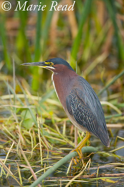 Green Heron (Butorides virescens) adult, Viera Wetlands, Brevard County, Florida, USA