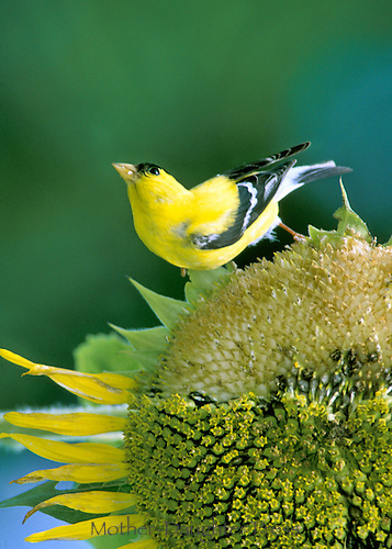 Goldfinch on sunflower eating seeds with a perky curve as it looks up