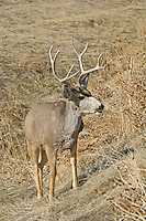 Mule Deer buck, Colorado