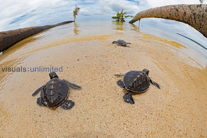 Green Sea Turtle (Chelonia mydas) hatchlings entering the ocean, Yap, Micronesia.