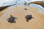 Green Sea Turtle (Chelonia mydas) hatchlings entering the ocean, Yap, Micronesia.