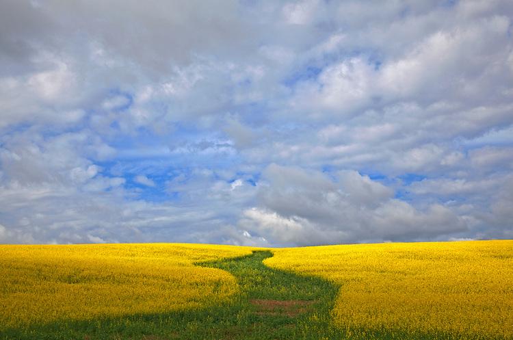 Canola field and clouds in Alberta, Canada