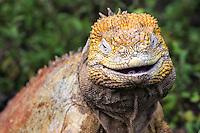 Land Iguana Smiling