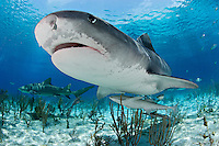 pk11704-D. Tiger Shark (Galeocerdo cuvier). Bahamas, Atlantic Ocean..Photo Copyright © Brandon Cole. All rights reserved worldwide.  www.brandoncole.com..This photo is NOT free. It is NOT in the public domain. This photo is a Copyrighted Work, registered with the US Copyright Office. .Rights to reproduction of photograph granted only upon payment in full of agreed upon licensing fee. Any use of this photo prior to such payment is an infringement of copyright and punishable by fines up to  $150,000 USD...Brandon Cole.MARINE PHOTOGRAPHY.http://www.brandoncole.com.email: brandoncole@msn.com.4917 N. Boeing Rd..Spokane Valley, WA  99206  USA.tel: 509-535-3489