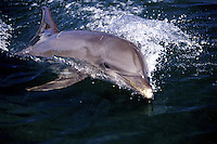 This Atlantic Bottlenose Dolphin, Tursiops truncatus,  was photographed off the island of Roatan in Honduras.