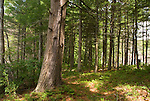 Old hemlock in Harold Parker State Forest, Massachusetts