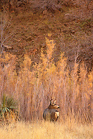 799800166a a wild mule deer buck odocoileus hemionus pauses in a field of tall autumn colored grasses next to a hillside in zion national park utah