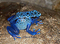 0929-07mm  Dendrobates azureus - Blue Poison Arrow Frog ñ Blue Dart Frog  © David Kuhn/Dwight Kuhn Photography