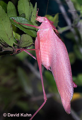 0408-1104  Oblong-Winged Katydid, Very Rare Pink Morph, Amblycorypha oblongifolia  © David Kuhn/Dwight Kuhn Photography