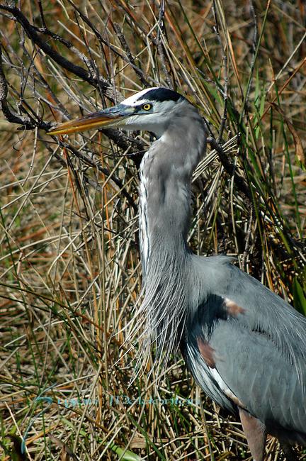 Greater Blue Heron