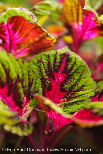 Coleus plant during the summer months at  Prescott Park in Portsmouth, New Hampshire USA