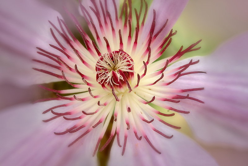 Close up of Pink Champagne Clematis. Oregon