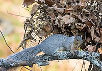 MA23-501z  Gray Squirrel at Nest in the tree branches, Sciurus carolinensis