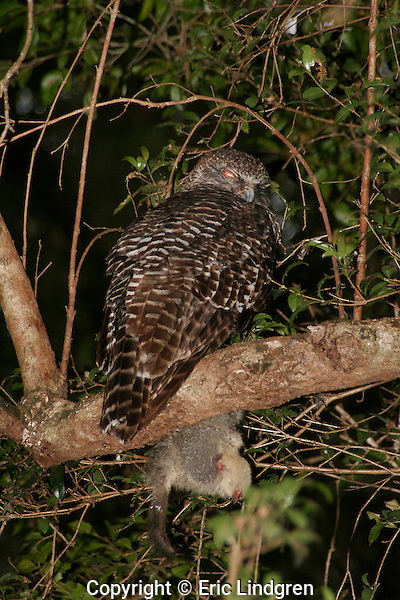 Powerful Owl eating Brushtail Possum, Brisbane Australia.   //   Powerful Owl - Strigidae: Ninox strenua. Length to 65cm, wingspan to 140cm, weight to 1.5kg.  Occurs in dry sclerophyll woodland of eastern Australia, from central Queensland (Dawson River) to western Victoria. The largest owl in Australia. Usually prefers gullies with dense vegetation along their banks. Nests in a +/- vertical hollow in a tree trunk, usually 15m or more above ground. Pairs remain together, probably for life, and use the same nesting hollow for many years. While one bird is in the nest during the day the partner sleeps nearby, often with half-eaten food clutched in its talons. Food is caught in trees and includes flying foxes, gliders, Koalas, possums, and sleeping diurnal birds. The fledgling is amost all white underneath, with a dark-grey mask around the eyes. IUCN Status: Least Concern. // Common Brushtail Possum - Phalangeridae: Trichosurus vulpecula. Length to 50cm, plus tail of 40cm, weight to 4Kg. Common in dry and wet sclerophyll woodland throughout Australia, except for arid and desert regions. Introduced into New Zealand where now in pest proportions.  A frequent inhabitant of the space above the ceiling in houses, and often becomes tame near humans- accepting food by hand. IUCN Status: Least Concern.   //Eric Lindgren//
