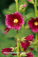 63821-05114 Hollyhocks (Alcea rosea), Marion Co.  IL