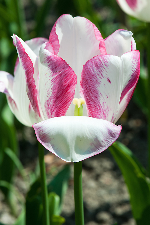 Tulip 'Salvo' (Triumph Group), late April.