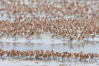 Flocks of shorebirds, dominated by Western sandpipers flock to the shores of Hartney Bay, Copper River Delta, Prince William Sound, Alaska, to refuel during their migration to summer nesting grounds.