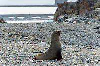 Antarctica expedition aboard the Hurtigruten FRAM ship. Fur seal at Half Moon Island. Half Moon Island is a two kilometer long (1.2 mile), crescent-shaped island in the shadow of the picturesque mountains and glaciers of nearby Livingston Island.