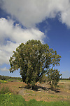 Israel, Lower Galilee. Eucalyptus tree in Ein Sharona