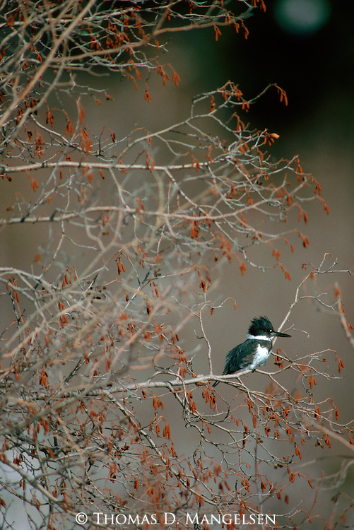 Belted kingfisher perches in a tree to watch for a fish for its next meal from the nearby pond.