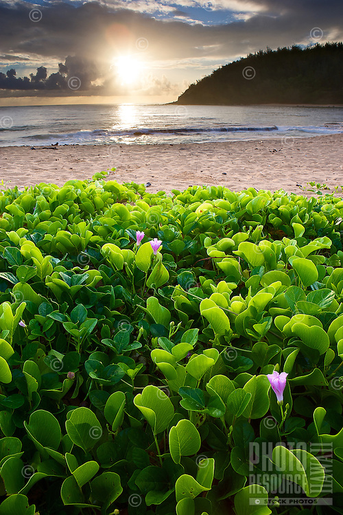 Sunrise with beautiful naupaka in the foreground at a beach on Kaua'i.