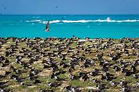sooty terns, Onychoprion fuscata or Sterna fuscata, nest in a crowded rookery, blanketing Tern Island, French Frigate Shoals, Papahanaumokuakea Marine National Monument, Northwestern Hawaiian Islands, USA, Pacific Ocean