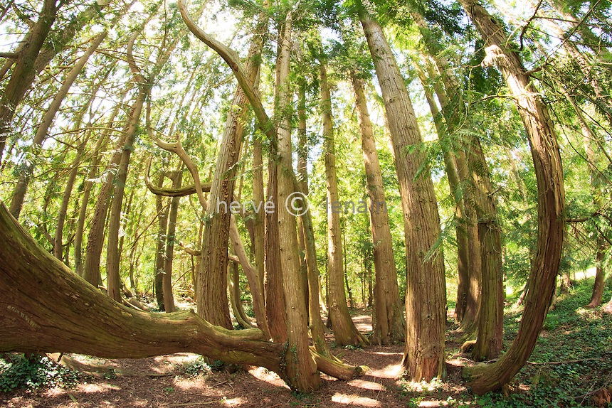 Arboretum des Barres ou Arbofolia, Thuja plicata aux 80 troncs // // France, Arboretum des Barres or Arbofolia, old  Thuja plicata or Western Redcedar with 80 trunks (from one tree at the beginning, extanding by natural marcottage)