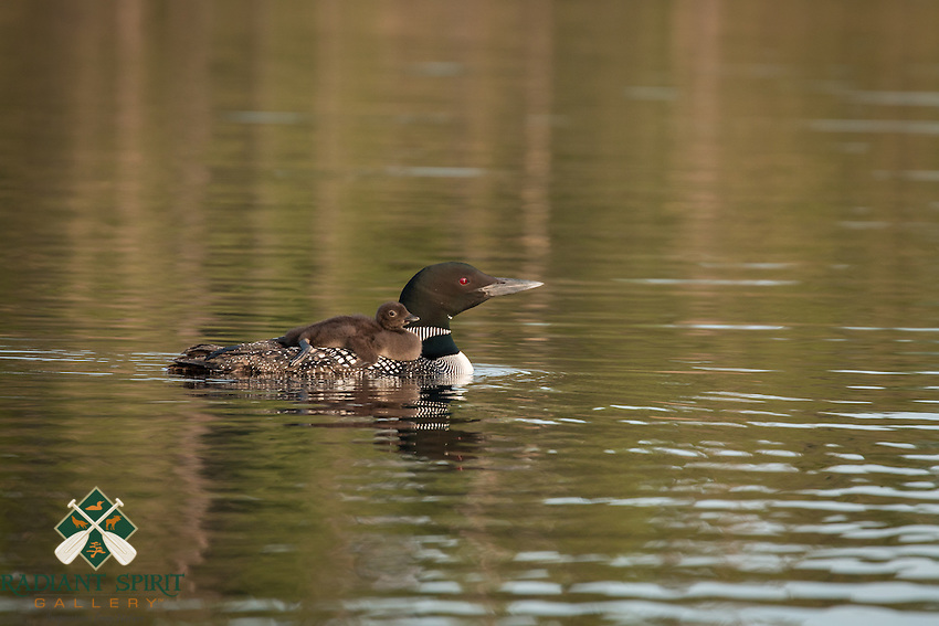 &quot;Loon Chick Gets a Ride&quot;<br /> <br /> This loon chick gets a comfortable ride on its parent's back.<br /> ~ Day 120 of Inspired by Wilderness: A Four Season Solo Canoe Journey