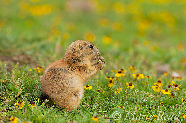 Black-tailed Prairie Dog (Cynomys ludovicianus), young animal feeding, Wichita Mountains National Wildlife Refuge, Oklahoma, USA