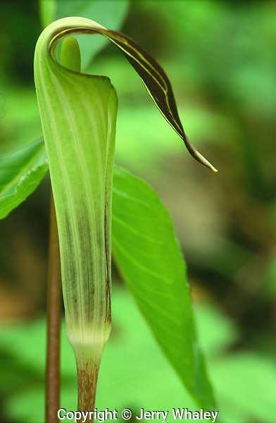 Jack-In-The-Pulpit, Great Smoky Mountains National Park