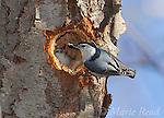 White-breasted Nuthatch (Sitta carolinensis) male brings food (sunflower seed) for female who is incubating in nest hole in treetrunk (Black Cherry), New York, USA