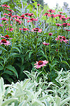 "echinacea  sundown and Stachys byantia helen von stein. ""Lamb's ears"" in the beds on the South side of the main residence."