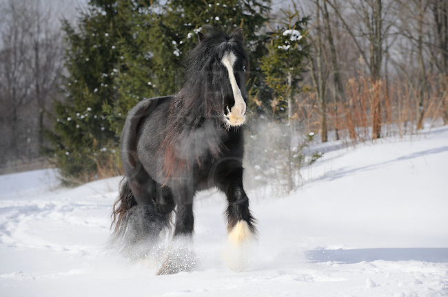 Black horse walking in fresh winter snow with breath blowing into the cold air, a Gypsy Vanner purebred mare in sunlit open pasture, Pennsylvania, PA, USA.