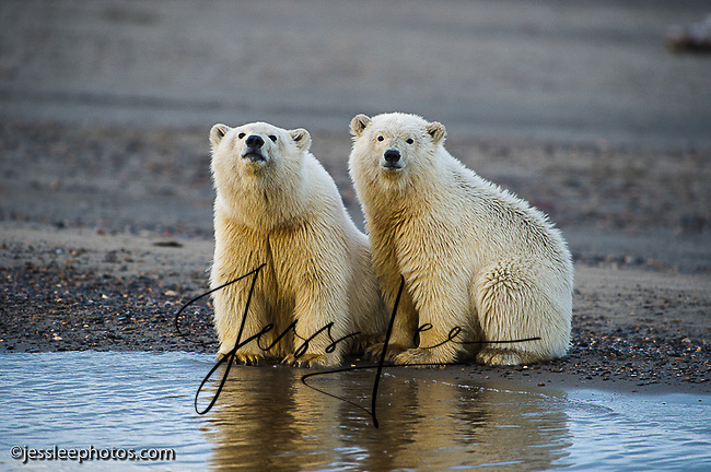 two young polar bear cubs huttle on the shore of the Beaufort,Sea while waiting for the water to freeze.