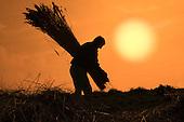 Bunching Reeds, Cley Marsh, Norfolk, UK