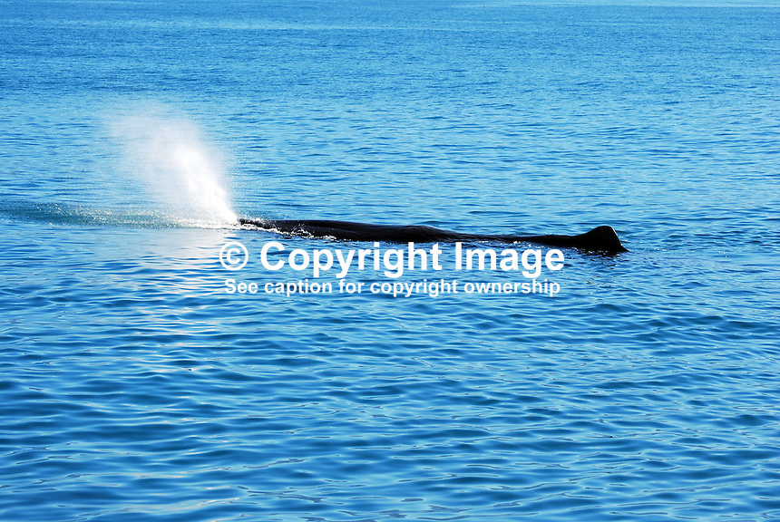 Sperm whale oxygenating, off Kaikoura, South Island, New Zealand. 201004105219..Copyright Image from Victor Patterson, 54 Dorchester Park, Belfast, UK, BT9 6RJ..Tel: +44 28 9066 1296.Mob: +44 7802 353836.Voicemail +44 20 8816 7153.Skype: victorpattersonbelfast.Email: victorpatterson@mac.com.Email: victorpatterson@ireland.com (back-up)..IMPORTANT: If you wish to use this image or any other of my images please go to www.victorpatterson.com and click on the Terms & Conditions. Then contact me by email or phone with the reference number(s) of the image(s) concerned.