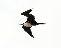 Juvenile magnificent frigatebird