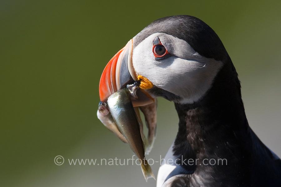 Papageitaucher, mit erbeuteten Fischchen im Schnabel, Papagei-Taucher, Fratercula arctica, Atlantic puffin, Vogelfels, Vogelfelsen