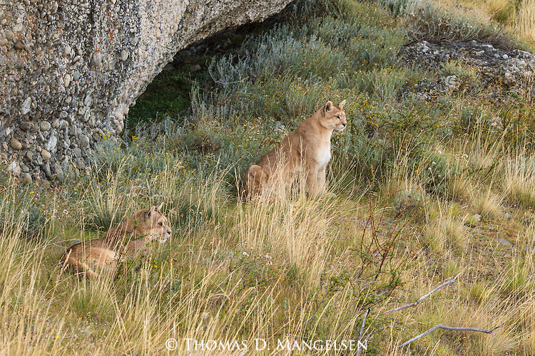A pair of Pumas rest on a hillside in Patagonia, Chile.