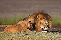 Tanzania, Ngorongoro Conservation Area, Ndutu, male lion with cub