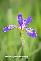 63899-05308 Blue Flag Iris (Iris versicolor) in wetland, Marion Co., IL