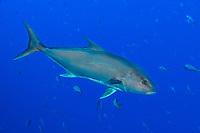 Almaco Jack, Seriola rivoliana, Roca Partida,, Revillagigedo Archipelago, Mexico, Pacific Ocean