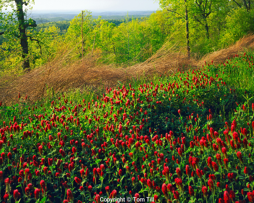 Red Clover Blooms on a Spring Evening, Talledega National Forest, Cheaha Wilderness, Alabama